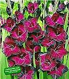 """BALDUR-Garten Riesen-Gladiole""""Schönheit der Nacht"""""""