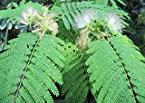 Persian Silk tree is a species of tree .: Albizia julibrissin (English Edition)