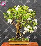 100pcs Bonsai Weißen Flieder Seeds (Extremely Fragrant) Nelke Blumensamen ausdauernde Topfpflanze für den Heimgarten