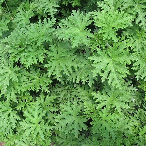 mocris semi di piante di citronella repellenti per zanzare repellente per zanzare erba dolce per giardino domestico