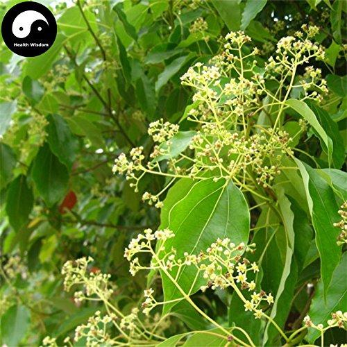Acquistare albero di canfora semi 60PCS Plant Cinnamomum Camphora per cinese albero di canfora