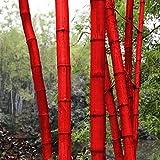 Soteer Garten-Riesenbambus China Moso Bambus(Phyllostachys edulis/pubescens) Saatgut Zierpflanzen winterharte bunte Samen für Ihre Garten und Haus