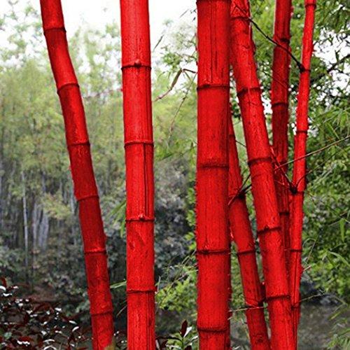 Lonlier Semillas de Bambú 10/20 pcs Plantas para Jardín Huerto Semillas Ecologicas