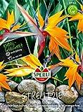 Strelizie Paradiesvogelblumen