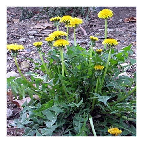 Löwenzahn - Taraxacum officinale - Salat- u. Heilpflanze - Sorte Nouvelle - 200 Samen