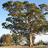 Eucalipto Azul semillas del árbol de la goma (Eucalyptus globulus) 100 semillas