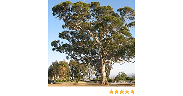 25pcs Eucalyptus Seeds Tall Evergreen Tree Heirloom Seed Cultivate As an Ornamental Tree Simple Planting Landscape in The Garden Courtyard
