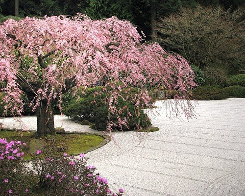 grow-your-secret-garden-japanese-flowering-cherry-seeds