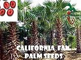 PLAT FIRM SEMI DI GERMINAZIONE: 25 Californie Palma Samen (Washingtonia filifera) von gepflÃŒckt de main