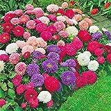100 PCS / BAG semillas aster aster flor bonsai semillas de flores de crisantemo del arco iris semillas planta perenne de flores a domicilio jardín rojas