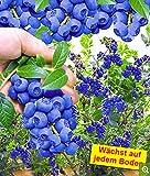 UPSTONE Garten - Blaubeere Waldheidelbeeren Schwarzbeere Obst Samen fruchtig & knackig mit typisch intensivem Heidelbeer-Aroma (10)