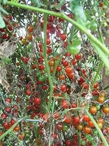 """Graine de Tomate Ultra Productive - """"Precocibec"""" - ancienne variété - TO006- 7 graines"""