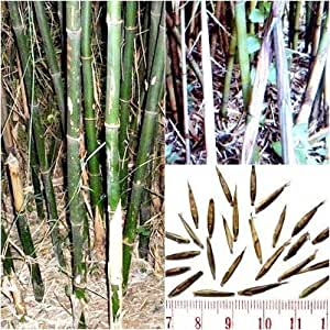 yunnan bambus 39 fargesia yunnanensis 39 15 samen bis 19. Black Bedroom Furniture Sets. Home Design Ideas