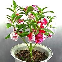Kraft Seeds Balsam Flower Tom Thumb Mix GMO-Free Seeds