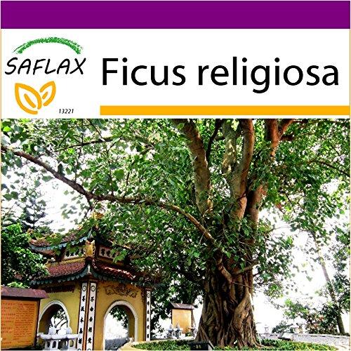 SAFLAX - Big Garden - Buddha-Feige / Bodhi-Baum - 100 Samen - Ficus religiosa