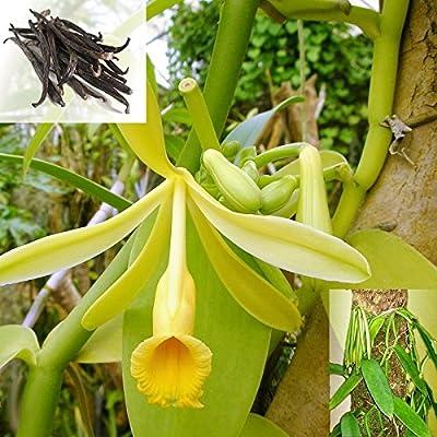 Hängeampel - Echte Vanille Pflanze - Vanilla planifolia - Kletterorchidee