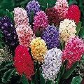 Humphreys Garden Hyacinth Hyazinthen Mixed x 10 Bulbs Blumenzwiebeln von Humphreys Garden bei Du und dein Garten