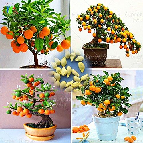 40 / bolso Semillas Bonsai Orange Tree semillas orgánicas árbol frutal macetas maceta de flores muy grandes y deliciosas
