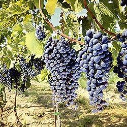 Artland Qualitätsbilder I Glasbilder Deko Glas Bilder 40 x 40 cm Ernährung Genuss Süßspeisen Foto Blau A6WW Toskanische Weintrauben