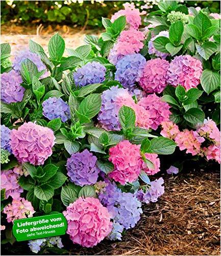 "BALDUR-Garten Winterharte Freiland-Hortensie""L.A. Dreamin®"" 1 Pflanze Hydrangea"