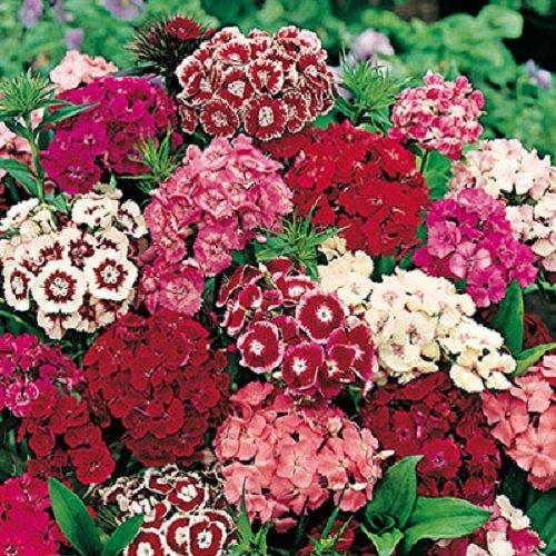 50-graines-semences-fleurs-oeillet-de-poete-a-fleurs-simples-odorante-pour-charmer-les-papillons-abe