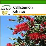 SAFLAX - Australischer Lampenputzer - 400 Samen - Mit Substrat - Callistemon citrinus