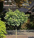 Hochstamm Kugel Feldahorn Nanum 80-100cm - Acer campestre