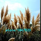 Hot Sale Yellow Pampas Grass Seeds Flowe...