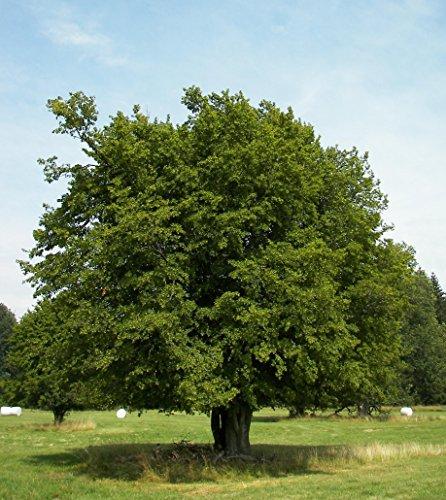 25 x Hainbuche (Carpinus betulus) 80 – 120 cm, Baum des Jahres 1996