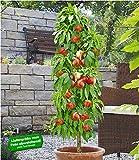 BALDUR-Garten Säulen-Nektarine 'Licecol', Nektarinenbaum 1 Pflanze Prunus persica