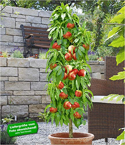 BALDUR-Garten Säulen-Nektarine 'Licecol®', Nektarinenbaum 1 Pflanze Prunus persica