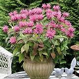"""Indianernessel """"Pink Lace"""" - Monarda didyma """"Pink Lace"""" - rosablühende Schmetterlingsstaude im 11 cm Topf - frisch aus der Gärtnerei - Pflanzen-Kölle Gartenstaude"""