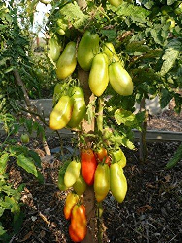 10 Samen San Marzano Tomate – klassische italienische Sorte, hoher Ertrag