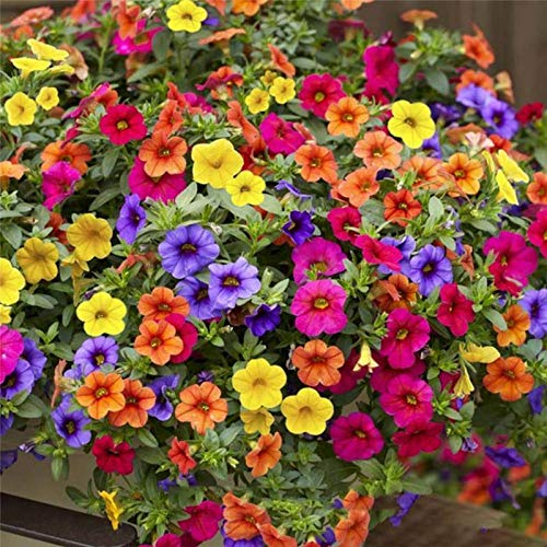 Go Garden 100 Pcs Magenta Jardin Fleurs Petunia pot semences Accueil plantes Semences Diy