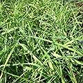 lichtnelke - Hängender Bambus (Bamboo) Green Twist von Lichtnelke Pflanzenversand auf Du und dein Garten