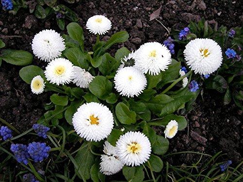 Portal Cool Bio-Blumensamen Daisy '' Snow White '' (Bellis perennis) Margaritka 500 Seeds