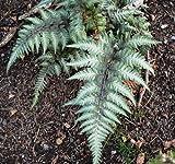 Athyrium niponicum 'Pictum' Painted Lady Fern (Sent in 9cm pots) (1)
