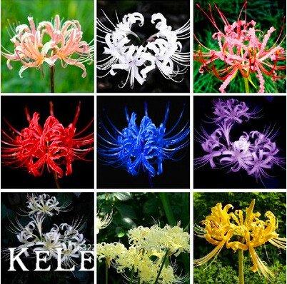Big Promotion! Lycoris Seeds Seed Rillettes Lycoris Flower Seed Jardin Plantes vivaces de plantation 50 Pièces / sac, # OOSKKQ