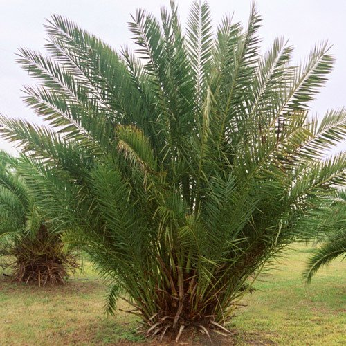 Plant World Seeds - Phoenix Dactylifera Medjool Seeds
