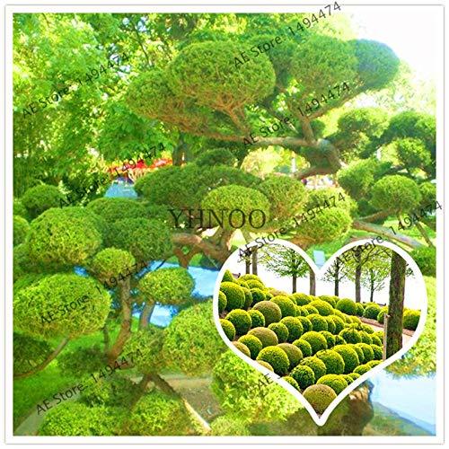 pinkdose 100 pc/bonsai sacchetto di ginepro palle di ginepro flores albero purificano l'aria di casa bacche di ginepro pianta da giardino molto facile da coltivare