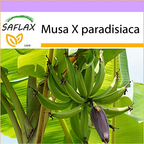 SAFLAX - Große Essbanane - 10 Samen - Musa X paradisiaca