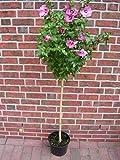 Hibiscus syriacus Hamabo - Stamm, Garteneibisch, winterhart, Höhe: 120-130 cm + Dünger