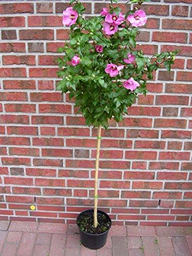 Hibiscus syriacus Hamabo - Stamm, Garteneibisch, winterhart, Höhe: 120-130 cm + Dünger -