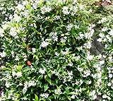 Future Exotics Trachelospermum jasminoides Jasmin Blütenduft winterhart 25 - 35 cm, 4 Stück