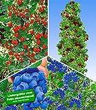 BALDUR-Garten Kletter-Erdbeere 'Hummi'& Trauben-Heidelbeere 'Reka Blue' Blaubeeren & Japanische Säulen-Himbeere, 1 Set Vaccinium corymbosum und Fragaria und Rubus phoenicolasius