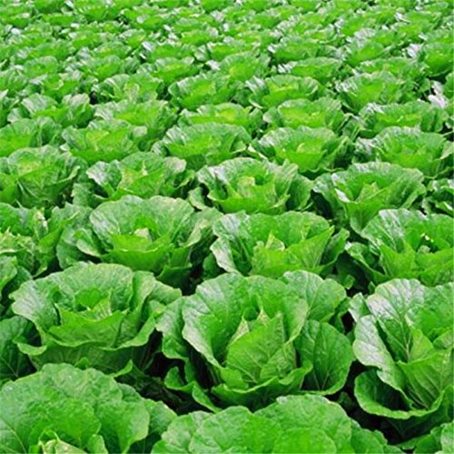 pak-choi-bok-choy-chinois-chou-graines-saines-bio-graines-de-legumes-pour-home-garden-high-yield-fac