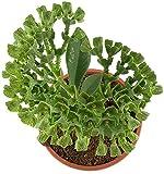 Monadenium echinulatum - fantastische, mehrjährige Zwergpflanze - ungewöhnliche Euphorbie als dekoratife Zimmerpflanze für Büro und Wohnung