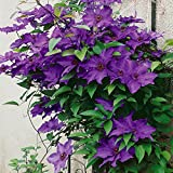 Clematis The President, 1 Pflanze im 2 Liter Topf