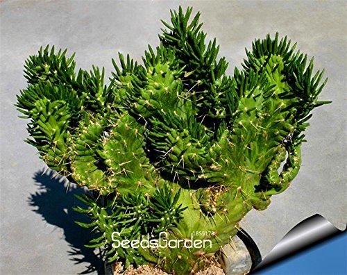 Vente 10 Pcs / sac Celestial Being graines - les planteurs bonsaï graines de plantes en pot anti-rayonnement pot de cactus, # RCFVP0
