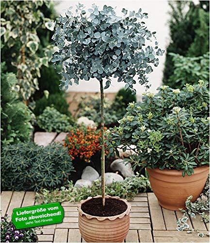 BALDUR-Garten Eukalyptus-Bäumchen 1 Stämmchen Eucalyptus gunnii